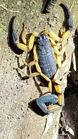 Scorpion under a flashlight