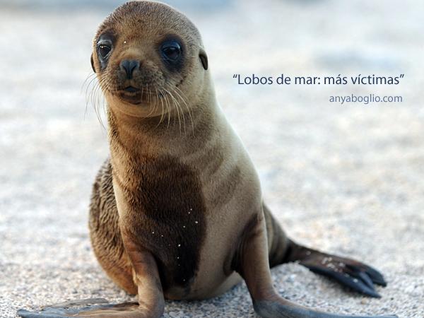 lobos-de-mar-mas-victimas-aboglio