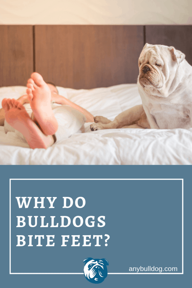 why do bulldogs bite feet? and what to do! – any bulldog