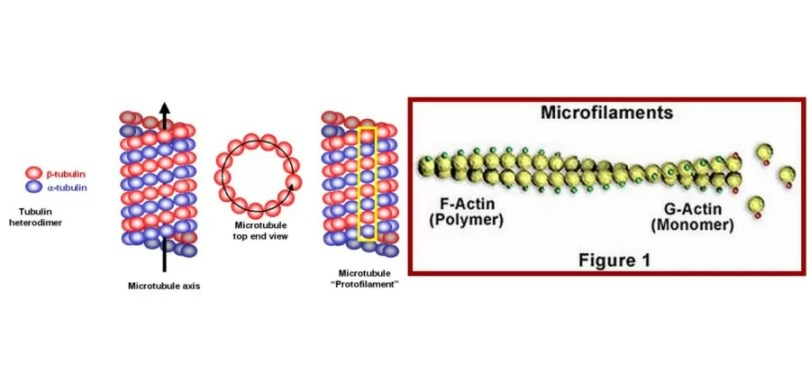 Difference Between Microtubules and Microfilaments