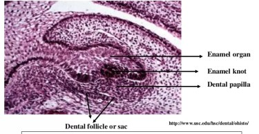 Difference Between Dental Papilla and Dental Follicle