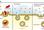 Difference Between Pinocytosis and Receptor-Mediated Endocytosis