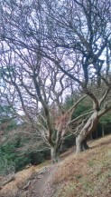 Some rather twisty old trees on one of the descents