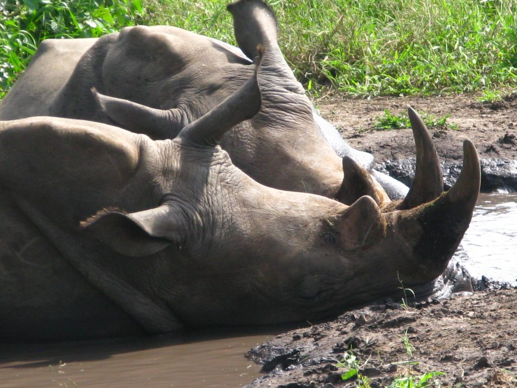 Safari south africa rhino