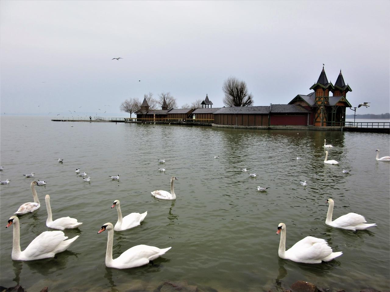 Keszthely strand swans