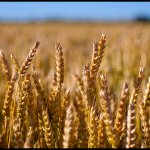 The Alternatives: Wheat loss or weight loss continued.