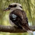 A wild Kookaburra (very wild as it happens)