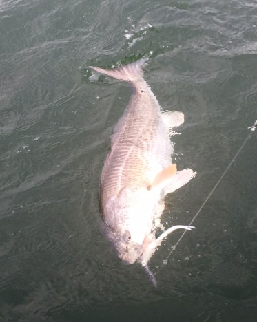 Mid-summer red drum on jig.