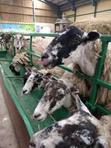 Feeding the sheep at The BIG Sheep