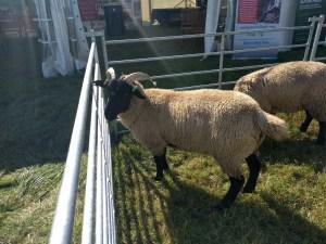 Sheep at The Wayland Show
