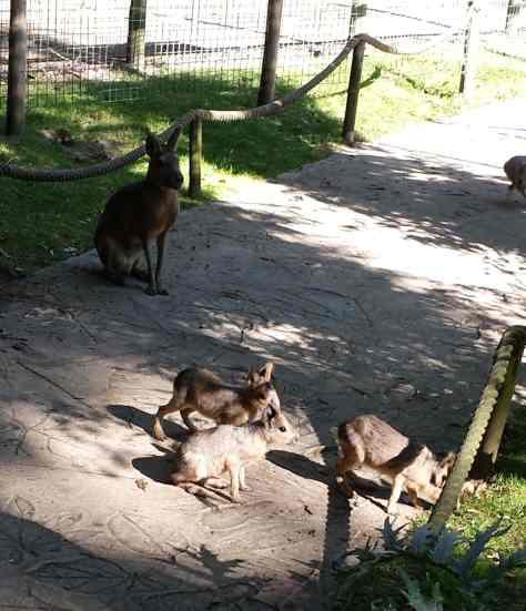 Baby Mara Amazona Zoo