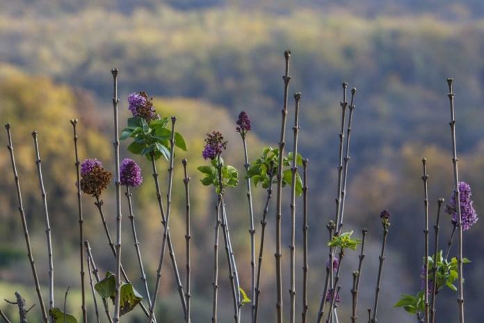 Virágzó orgona Zalaegerszegen