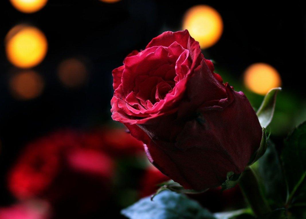 rose-3215425_1280
