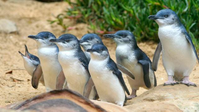 Little blue penguins Australia