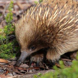 Echidna, Tasmania