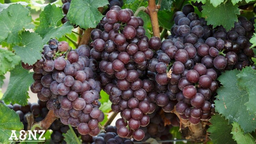 famous Australian wines
