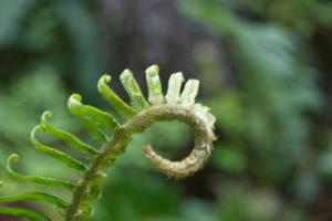 Polystichum munitum. Photo by Emily B. Limm. Published in American Journal of Botany