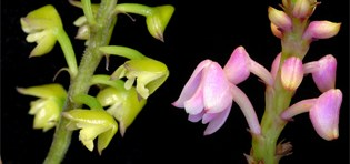 Reticulate evolution in Polystachya (Orchidaceae)