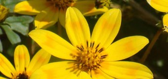 The Meskel daisy, Bidens pachyloma, from Ethiopia