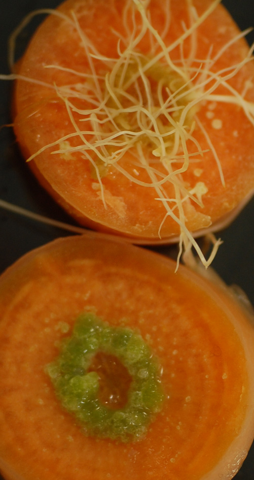Carrot Transformation with Agrobacterium