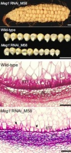 Meg1 effects on seed growth: maize ear and kernels are seen segregating for normal and Meg1 small seeds (top) while the difference in transfer-cell structure is seen in the lower micrographs. See Costa et al. http://dx.doi.org/10.1016/j.cub.2011.11.059 .
