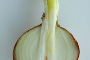 Post-harvest transcriptional changes in onion