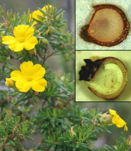 Variable seed dormancy and germination in <i>Hibbertia</i>