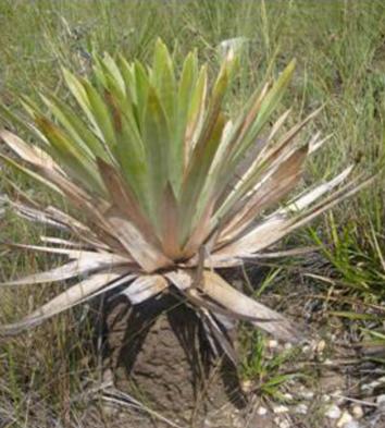 Digestive mutualism of a protocarnivorous plant