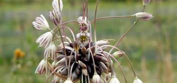 Genome size variations in polyploid Allium oleraceum