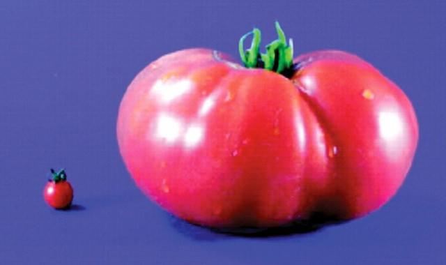 A tiny wild tomato next to a massive cultivated tomato.
