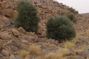 Population genetics of Mediterranean and Saharan olives