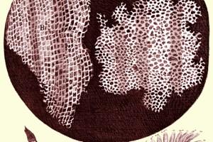 Image: Robert Hooke, 1665. Micrographia. Jo. Martyn and Ja. Allestry, London.