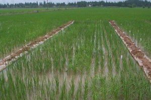 Auxin distribution and nitrate in rice roots