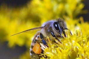 Flow cytometric analysis of bee pollen loads