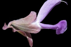 Evolution of Old World Salvia in Africa
