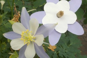 Pollinators and maintaining variation in flower colour