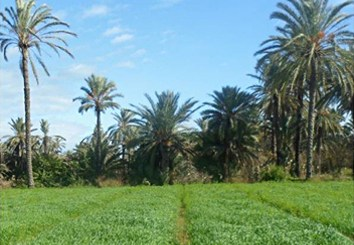 Genetic structure of Old World date palm