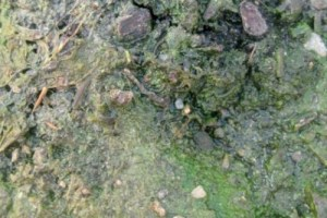 An epipelic algal community on air-exposed soil.