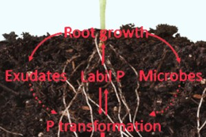 The impact of elevated carbon dioxide on the phosphorus nutrition of plants