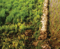 Lentil growth is affected by soil waterlogging. (Photo: A.I. Malik)