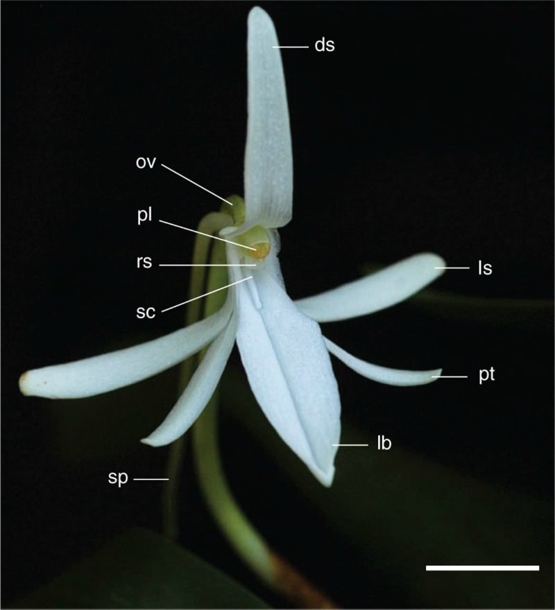 Commonness, reproductive patterns and inbreeding depression of two Jumellea species