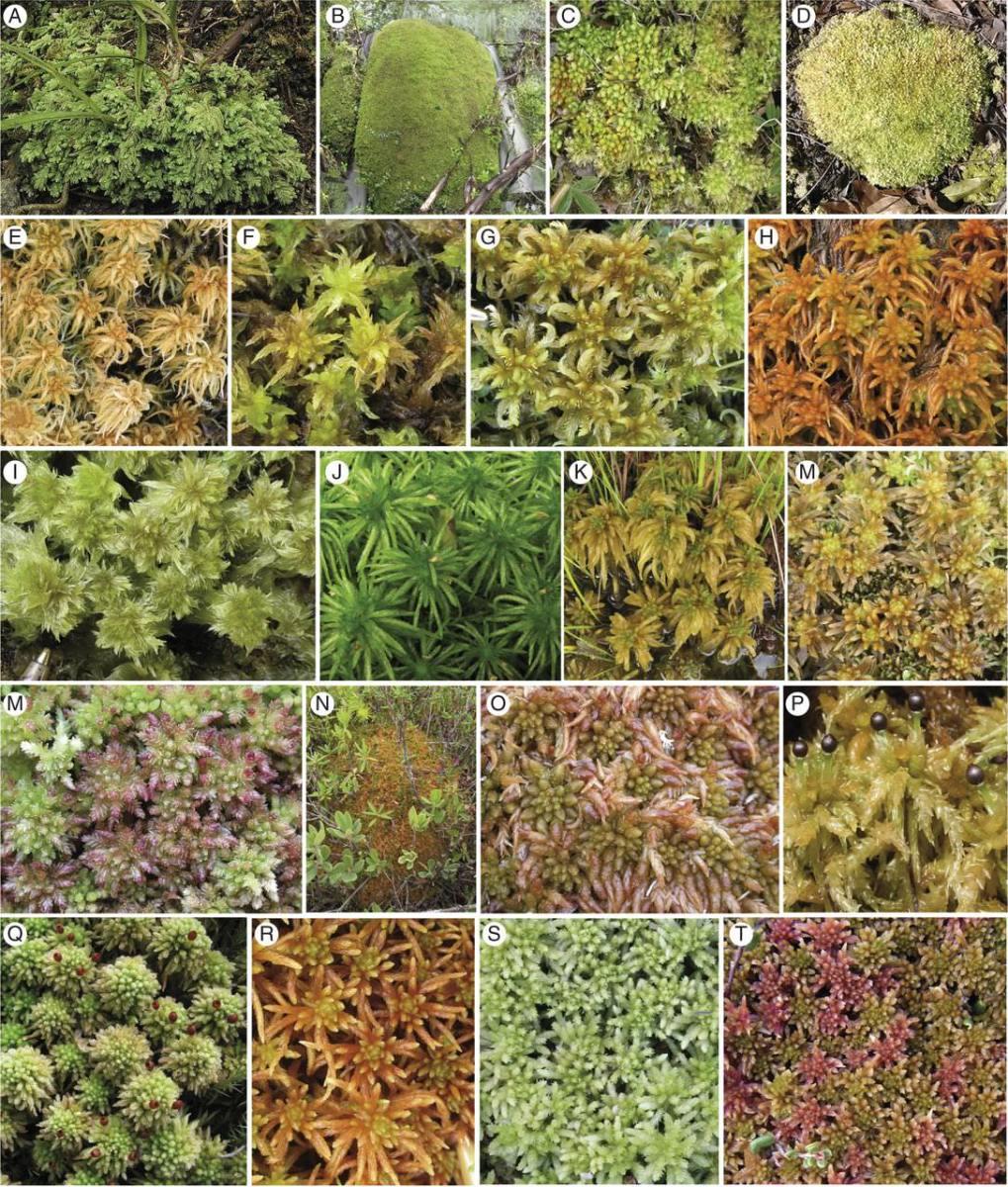 Organellar phylogenomics of Sphagnum