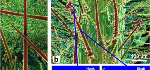 Loasa pallida leaf hairs