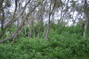 Bitou bush (Chrysanthemoides monilifera), a South Africa shrub, has become a significant alien invader in Australia. Bitou bush has been listed a key threatening process under Australian threatened species legislation. Over 150 native plant species have been identified as being threatened from bitou bush invasion. This photo shows bitou bush invading the understorey of Coastal Banksia Woodland in New South Wales, where it threatens numerous native plant species as identified through the NSW Threat Abatement Plan (DEC2006). Photo copyright: Paul Downey