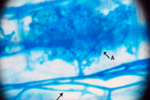 representative arbuscular structure found in roots of Plantago lanceolata with inoculum from native shrubs. A: Arbuscule and H: Hypha.