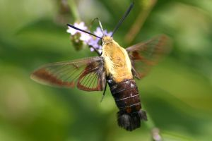 Sphinx moth nectaring on Brazilian vervain