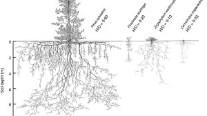 Drawings of the above- and below-ground extension of the species Pinus sylvestris, Pimpinella saxifrage, Zygophullum xanthoxylo and Convolvulus tragacanthoides.