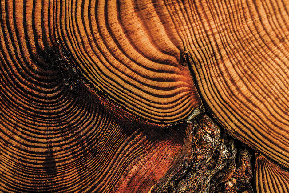 Cross section of a red pine from the 17th century.