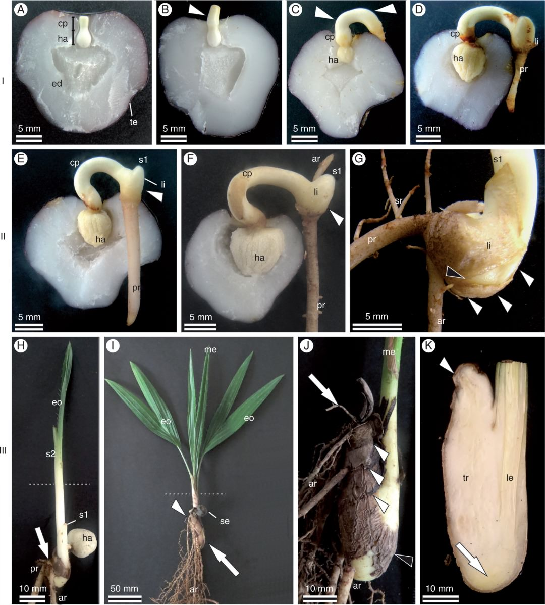 Seeds and seedlings of A. aculeata, indicating (on the left) the development phases of the saxophone stem