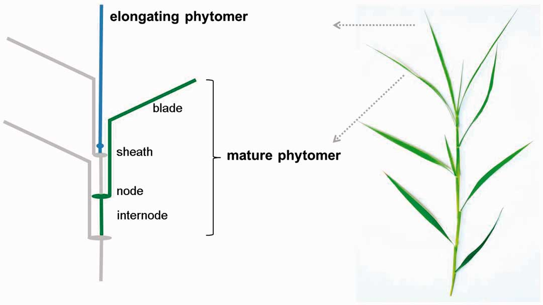 Schematic of a mature phytomer and its components, and arrangement of phytomers along a tiller of C. squarrosa.